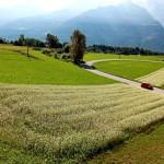 Campi di grano saraceno a Teglio